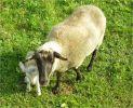 Lamm, Schaf